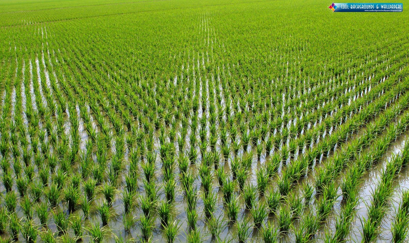 rice-farming-hd-wallpapers